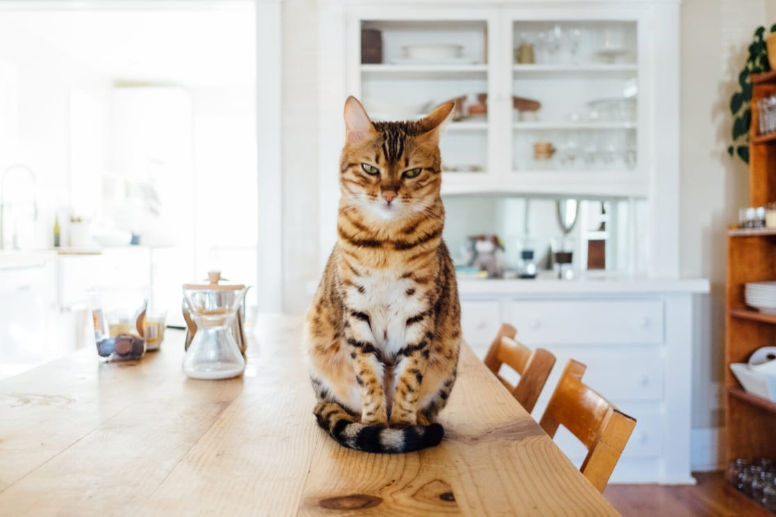 New England Journal of Medicine – Transmission of SARS-CoV-2 in Domestic Cats